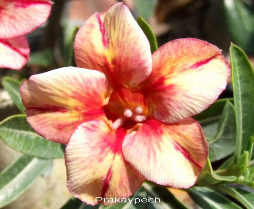 Prakaipech Double Flower Adenium Obesum Desert Rose Seeds