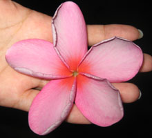 Red-Purple Plumeria Seeds
