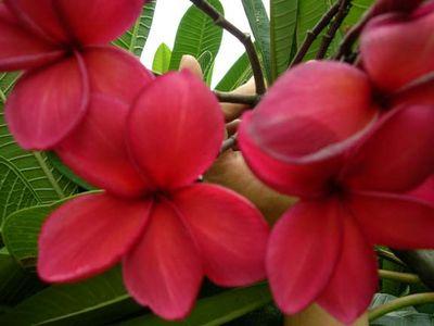 Red Jack #59 Plumeria Seeds