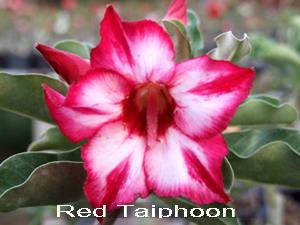 Adenium Desert Rose Red Taiphoon seeds