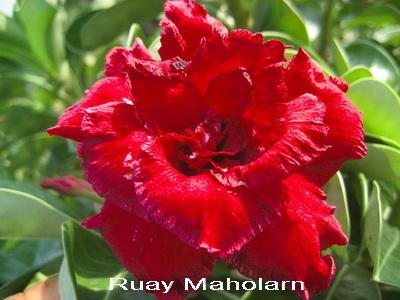 Ruay Maholarn TRIPLE flower Adenium Obesum Desert Rose Seeds