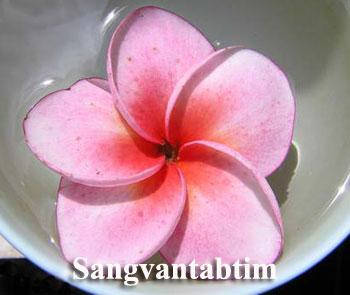 Sangvantabtim Plumeria Seeds