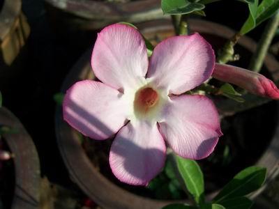 Adenium Desert Rose Saoy Raya seeds