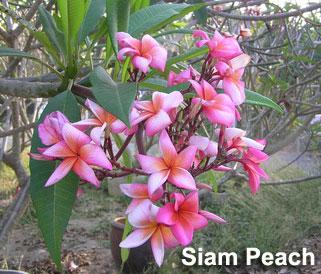 Siam Peach Plumeria Seeds