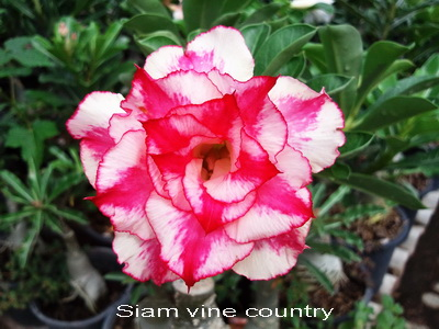 Siam Vine Country TRIPLE flower Adenium Obesum Desert Rose rooted Seedling