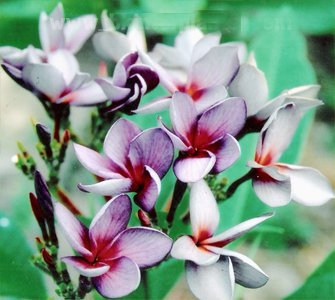 Silky Purple Rooted Grafted Plumeria Cutting