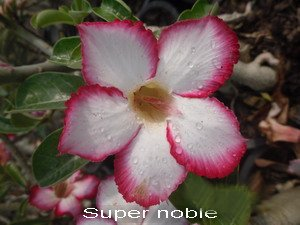 Adenium Desert Rose Super Noble seeds