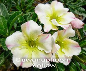 Suwanaphoom Yellow Double Flower Adenium Obesum Desert Rose Seeds