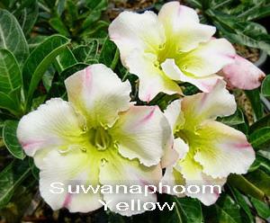 Adenium Desert Rose Suwanaphoom Yellow Seeds