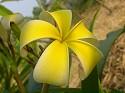 Thai Yellow Plumeria Cutting