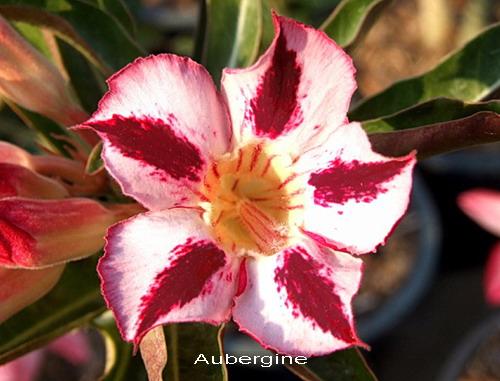 Adenium Desert Rose Ubergreen Seeds