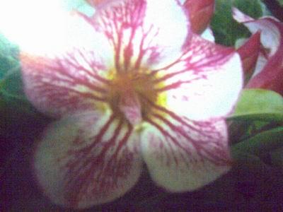 Adenium Desert Rose Ungor Seeds