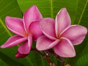 Violet Hybrid Plumeria Seeds