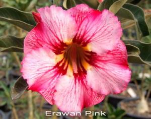 Adenium Desert Rose Arawan Pink seeds