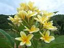 Bali Hai Gold Plumeria Seeds