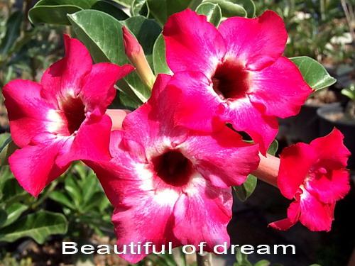 Adenium Desert Rose Beautiful Dream seeds