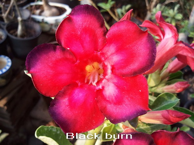 Black Burn Adenium Obesum Desert Rose Seeds