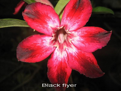 Adenium Desert Rose Black Flyer Seeds