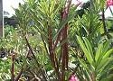 Black Somalence Adenium Desert Rose seeds