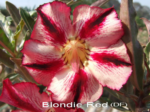 Double Flower Blondie Red Adenium Obesum Seeds