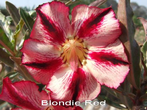 Adenium Desert Rose Blondie Red seeds