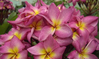 Cathareeya Candy Plumeria Seeds
