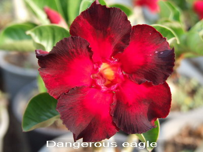 Adenium Desert Rose Dangerous Eagle seeds