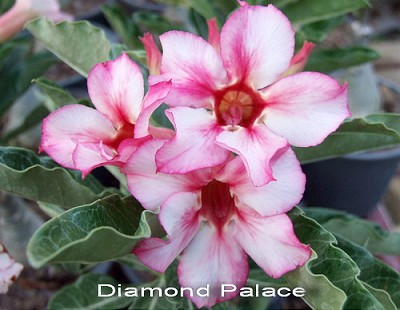 Double Flower Diamond Palace Adenium Obesum Seeds