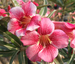 Adenium Desert Rose Diamond Pink seeds