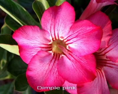 Adenium Desert Rose Dimple Pink Seeds