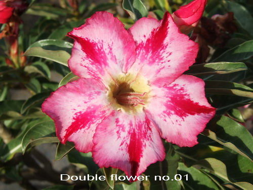 Double Flower #1 Adenium Obesum seeds