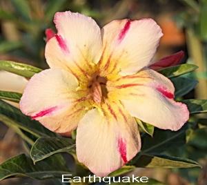 Earthquake Double Flower Adenium Obesum Desert Rose Seeds