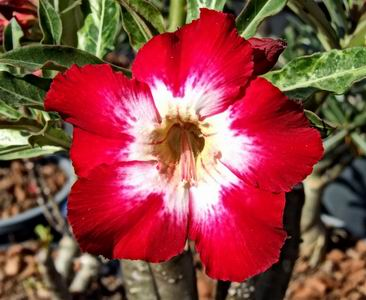 Adenium Desert Rose El Ninyo seeds