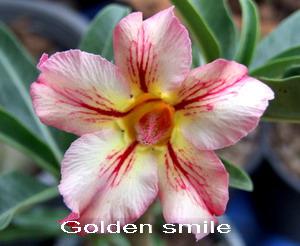 Adenium Desert Rose Golden Smile seeds