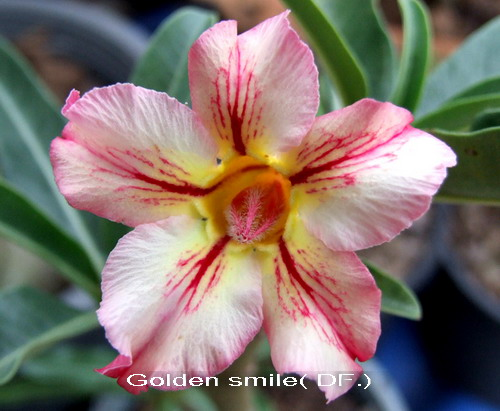 Double Flower Golden Smile Adenium Obesum Seeds