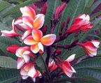 Indonesian Rainbow Rooted Grafted Plumeria Cutting