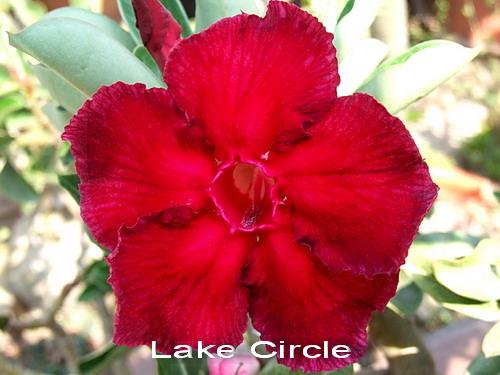 Adenium Desert Rose Lake Circle seeds