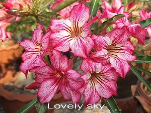 Adenium Desert Rose Lovely Sky Seeds