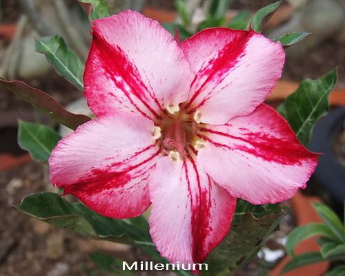 Adenium Desert Rose Millenium seeds
