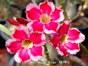 Double Flower Miracle Star Adenium Obesum Seeds