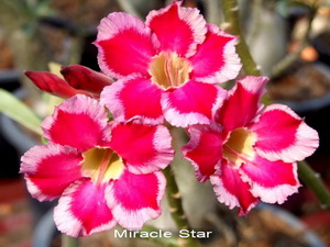 Adenium Desert Rose Miracle Star Seeds