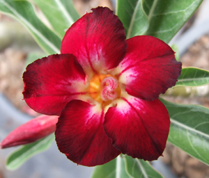 Adenium Desert Rose Misslamlooka Seeds