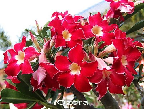 Ozola Double Flower Adenium Obesum Desert Rose Seeds