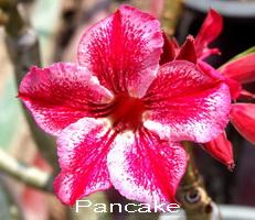 Pancake Double Flower Adenium Obesum Desert Rose Seeds
