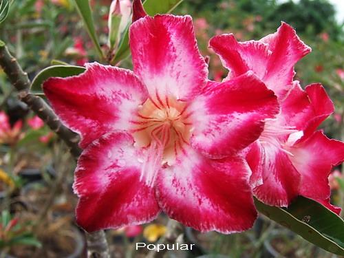 Adenium Desert Rose Popular Seeds