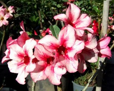 Adenium Desert Rose Pratricia seeds