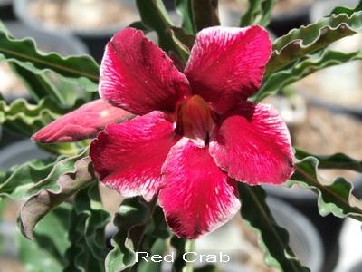 Adenium Obesum Desert Rose Red Crab Seeds