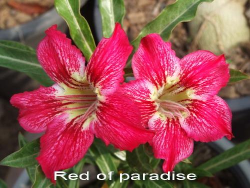 Adenium Desert Rose Red of Paradise seeds