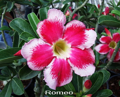 Adenium Desert Rose Romeo seeds