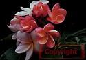 Sally Moragne Plumeria Seeds